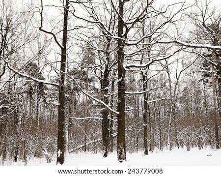snowy oaks and pine trees on the edge of winter forest