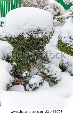 snowy ornamental tree, symbol photo for winter, frost damage and winter rest - stock photo