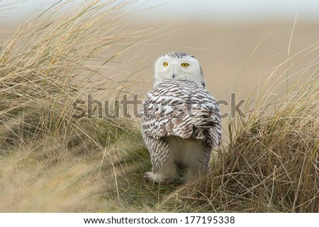 Snowy owl Bubo scandiacus - stock photo