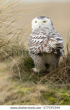 Snowy owl Bubo scandiacus - stock photo