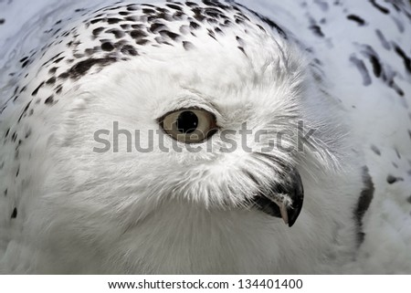 Snowy Owl (Bubo scandiacus) Arctic Owl, Great White Owl, Icelandic Snow Owl from Northern Europe - stock photo