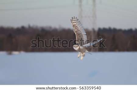 Snowy owl (Bubo scandiacus) hunting flies low over an open snowy field