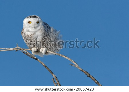 Snowy owl (Bubo scandiacus) perch on a tree branch.