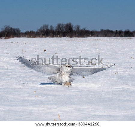 Snowy Owl Caught a Mouse - stock photo