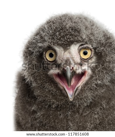 Snowy Owl chick calling, Bubo scandiacus, 31 days old against white background - stock photo