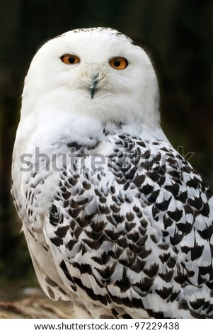snowy owl close up - stock photo