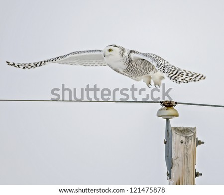Snowy Owl flying from pole - stock photo