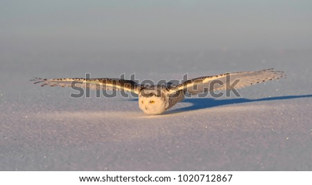 Snowy Owl Flying Low Over Snow Field in Winter