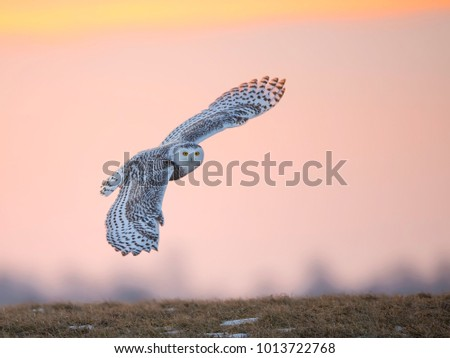 Snowy Owl in Flight at Sunrise