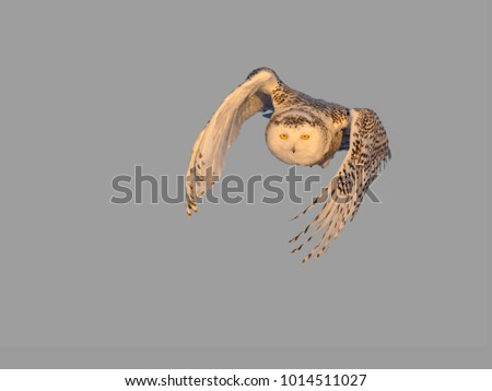 Snowy Owl in Flight  on Blue Sky in Early Morning Light