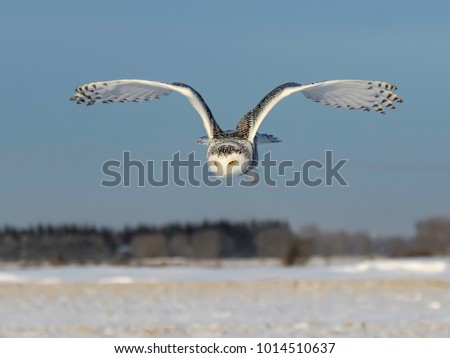 Snowy Owl in Flight Over Farmers Field in Winter