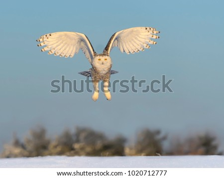 Snowy Owl in Flight Over Snow Field in Winter