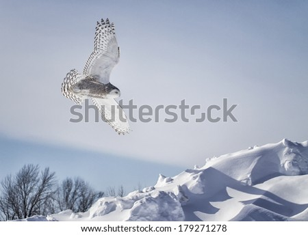 Snowy Owl in flight.  Winter in Minnesota. - stock photo