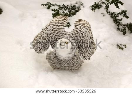 Snowy owl is a symbol of wisdom.  (Nictea scandiaca). - stock photo