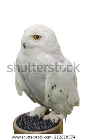 Snowy owl isolate on white background