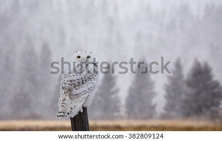 Snowy Owl on Fence Post in Winter Canada - stock photo