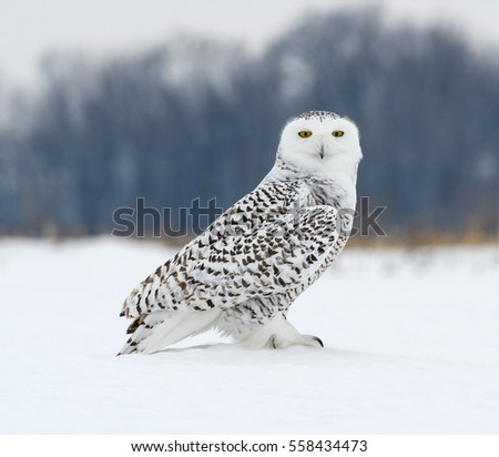 Snowy Owl on Snow Portrait