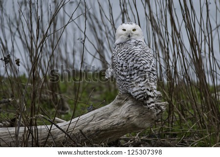 Snowy Owl perched on a petrified log. - stock photo