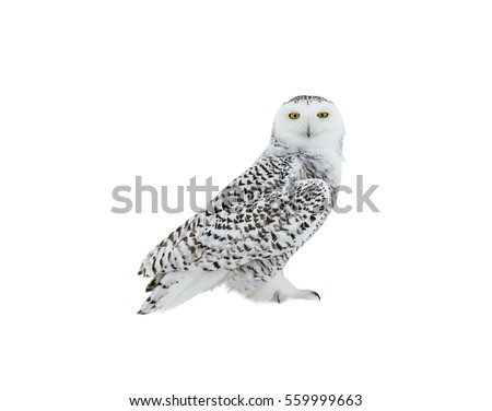 Snowy Owl Perched on Snow on White Background, Isolated