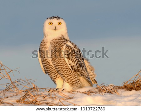 Snowy Owl Portrait in Early Morning Light