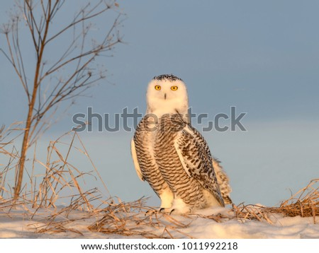 Snowy Owl Portrait in Early Morning Light in Winter