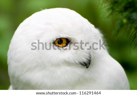 Snowy Owl Portrait. Montreal, Quebec, Canada - stock photo