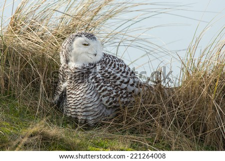 Snowy owl sits on top of dunes in the Netherlands - stock photo
