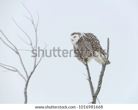 Snowy Owl Sitting on a Tree Top in Winter
