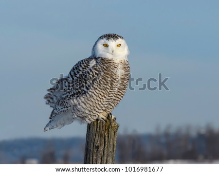 Snowy Owl Sitting on Fence Post , Portrait in Winter
