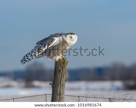 Snowy Owl Sitting on Snow