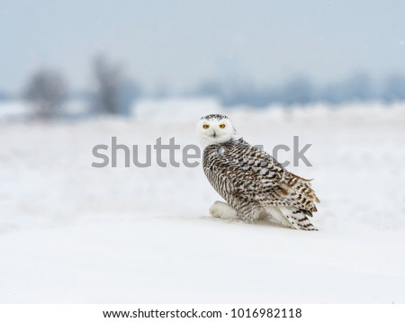 Snowy Owl Sitting on Snow in Winter, Portrait