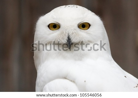 Snowy owl sitting quietly looking out for prey