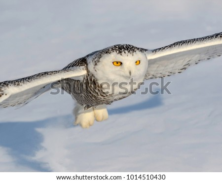 Snowy Owl Taking Off in Winter, Closeup Portrait
