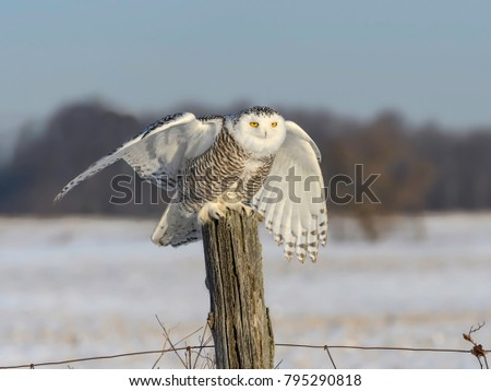 Snowy Owl with Open Wings Sitting on Fence Post in Winter