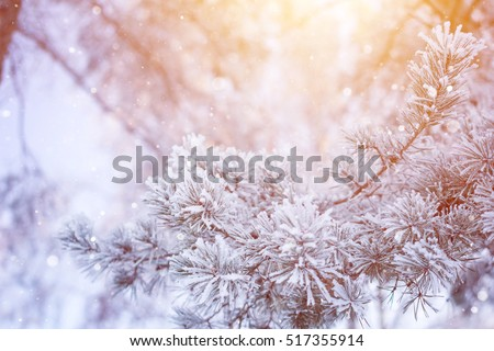 Snowy pine tree christmas winter scene. Fir branches covered with frost wonderland. Calm blurred snow flakes winter time background with copy space area. Snow covered branches wintering in december.