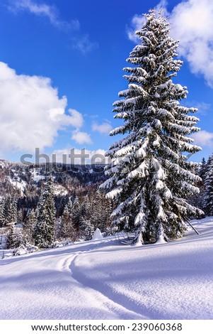 Snowy tree on ski resort in Carpathian Mountains - stock photo