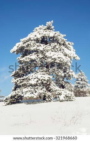 Snowy tree. Winter natural theme. - stock photo
