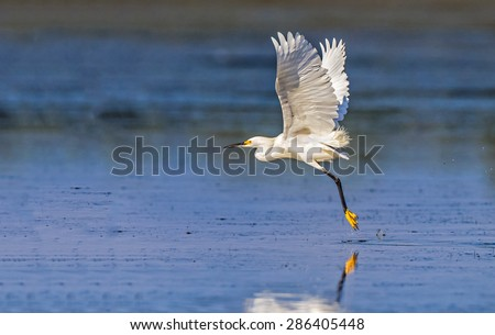 Snowy white egret in full flightMyakka State Park with the state tree of Florida, the cabbage palm - stock photo