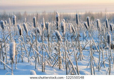 Snowy winter evening cattail - stock photo