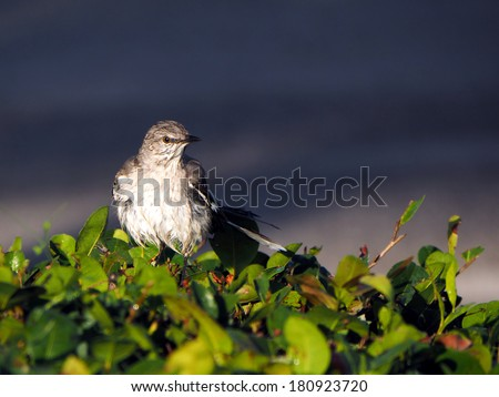 Soaking wet Northern Mockingbird drying off after a bath - stock photo