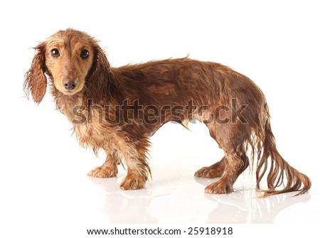 Soaking wet puppy, studio isolated. - stock photo