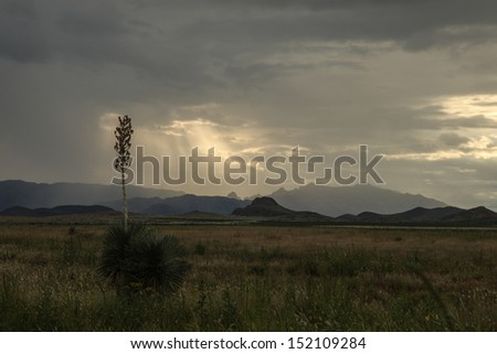 Soaptree Yucca plant silhouetted against thunderclouds at dusk in desert landscape/Wild Yucca Elata Plant in Bloom during Thunderstorm over Desert  Landscape/Thunderstorm and desert plant with bloom - stock photo