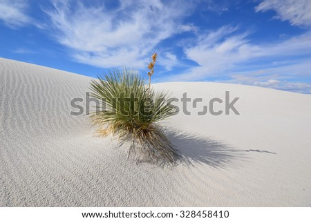 Soaptree yucca (Yucca elata) clinging to a dune at White Sands National Monument, New Mexico.  - stock photo