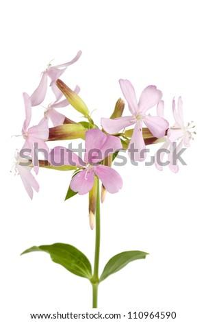 Soapwort isolated on white background - stock photo