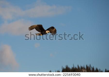 Soaring American Bald Eagle at Homer Alaska - stock photo
