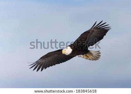 Soaring Bald Eagle - stock photo
