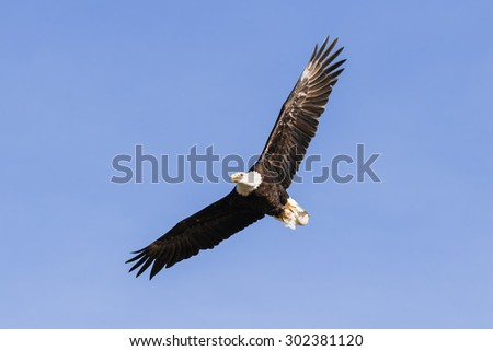 Soaring bald eagle. A magnificent bald eagle is seen soaring in a blue sky. - stock photo