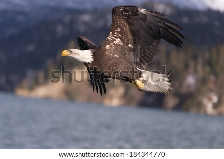 Soaring Bald Eagle in Homer, Alaska  - stock photo