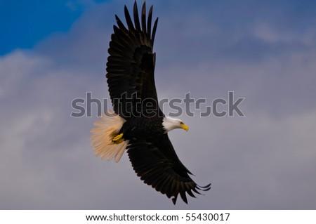 Soaring bald eagle sideways. - stock photo