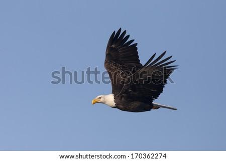 Soaring eagle. - stock photo